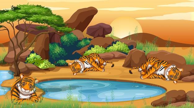 Сцена с тиграми, спящими у пруда