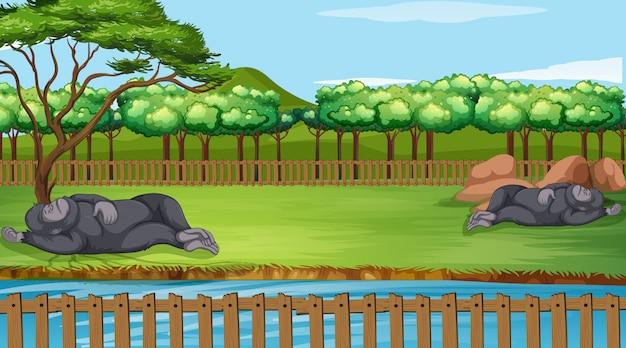 동물원에서 두 고릴라와 함께 현장