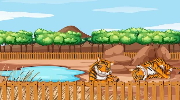 動物園で2頭のトラのシーン