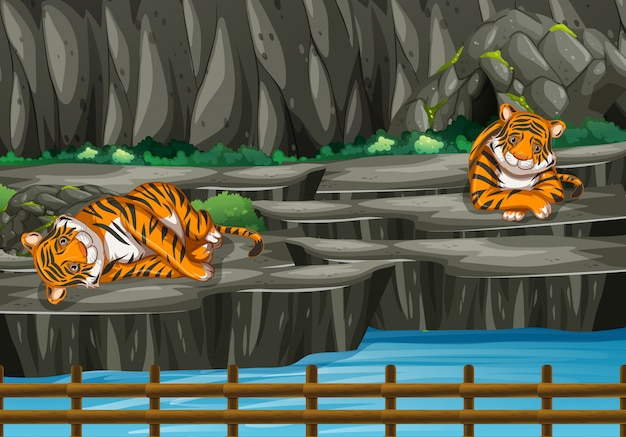 Scene with two tigers in the zoo