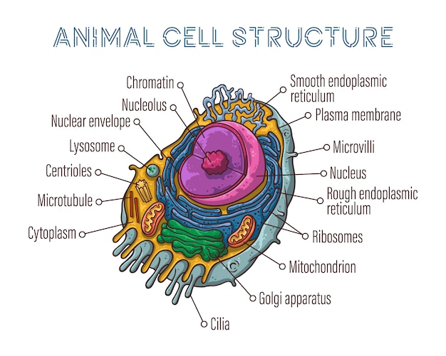 Schematic structure of animal cell.