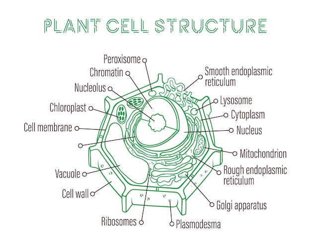 植物細胞の概略構造