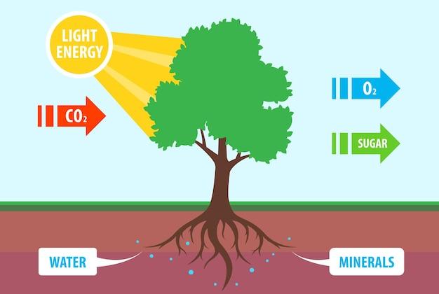木の光合成のスキーム。二酸化炭素の酸素への変換。フラットベクトル教育イラスト。
