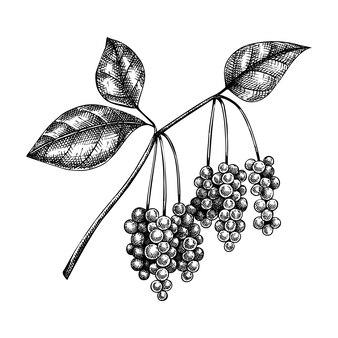 오미자. adaptogenic 식물 그림. 손으로 스케치 한 목련 덩굴.