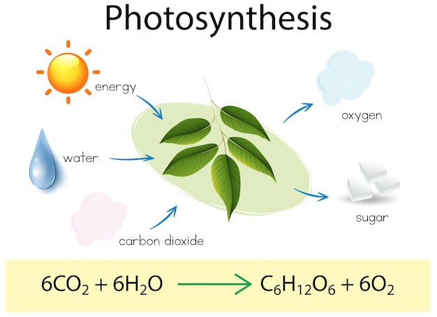 A science education of photosynthesis