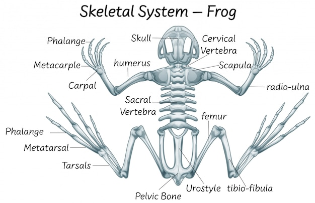 Science eduction of frog anatomy