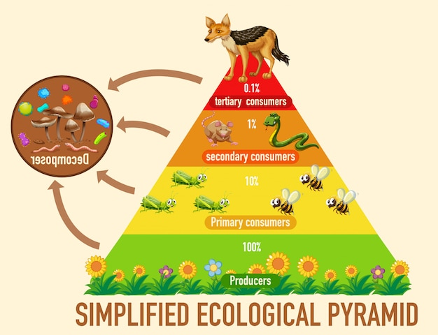 Science simplified ecological pyramid