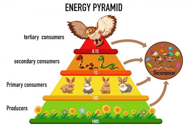 La scienza ha semplificato la piramide ecologica