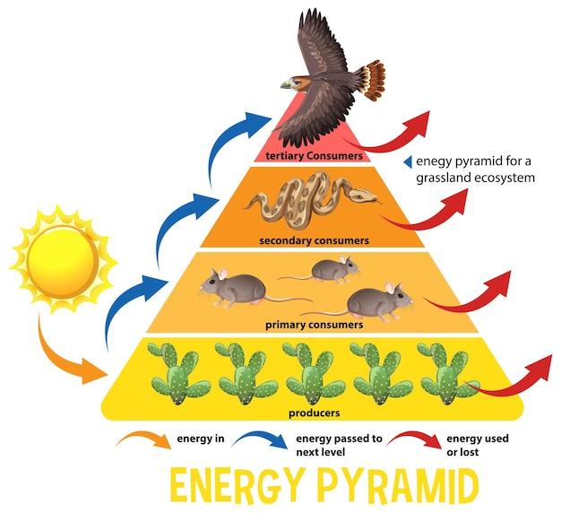 과학 단순화 생태 피라미드