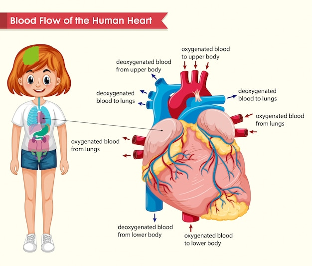 Scientific medical  of human heart bloodflow