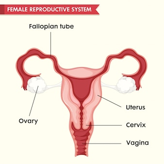 Scientific medical illustration of female repoductive system