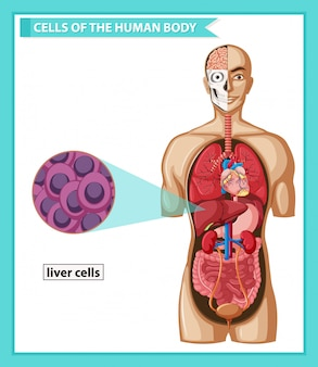 Scientific medical illustration of human liver cells