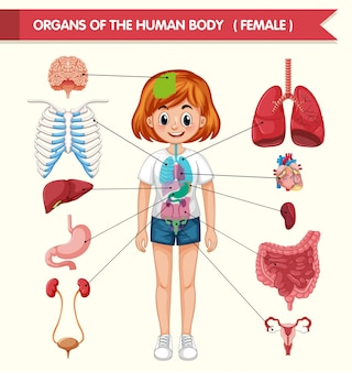 Scientific medical illustration of organs of the human body