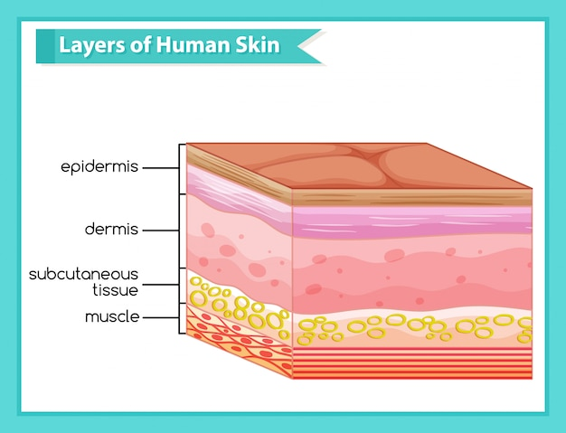 Scientific medical infographic of human skin layers
