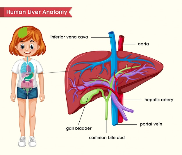 Scientific medical  of liver anatomy