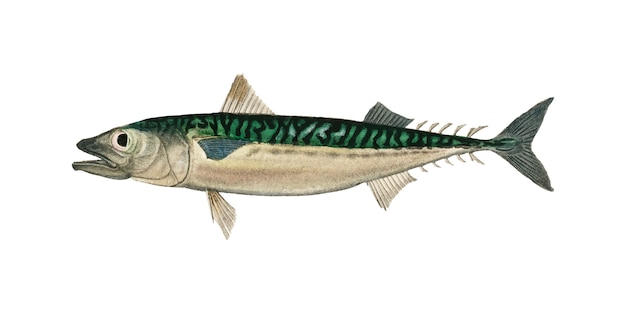 チャールズ・ササレル(scomber colias)はcharles dessalines d'orbigny(1806-1876)によって説明されています。