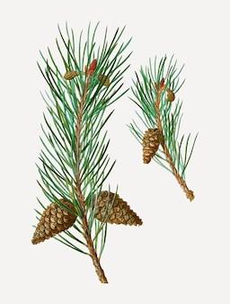 Scots pine conifer cones