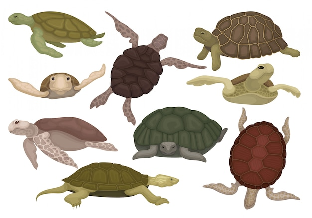 Sea and land turtles set, tortoise reptile animals in various views  illustration on a white background