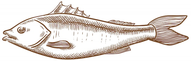 Seabass fish vector sketch hand drawing