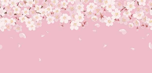 Seamless floral with cherry blossoms in full bloom on a pink.