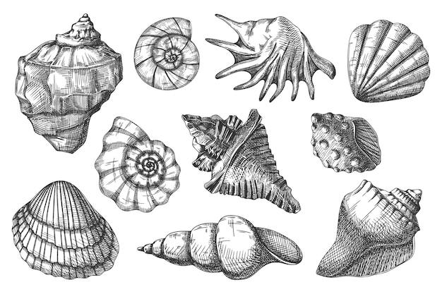 Seashell sketch illustration