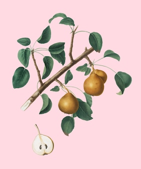 Seckel pear from pomona italiana illustration