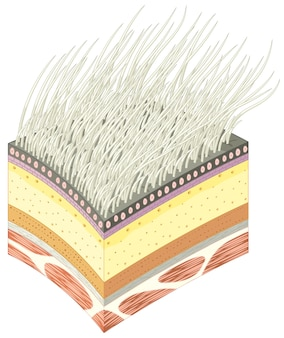 Section of polar bear muscle skin and fur