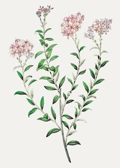 Selago flower Free Vector