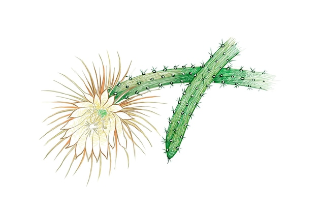 セレニケレウスサボテンまたは月光サボテン庭の装飾のための鋭いとげのある多肉植物