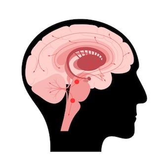 Serotonin pathway in the human brain. monoamine neurotransmitter. modulating mood flat vector.