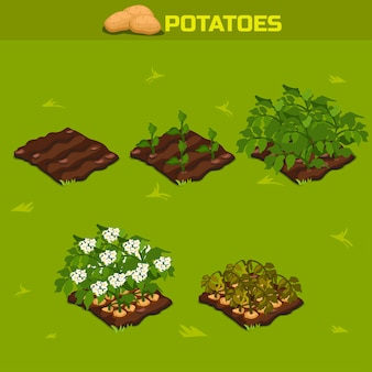 Set 11. isometric stage of growth potatoes