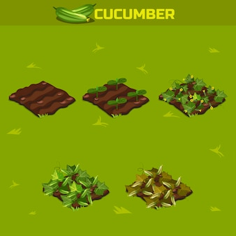 Set 3. isometric stage of growth cucumber