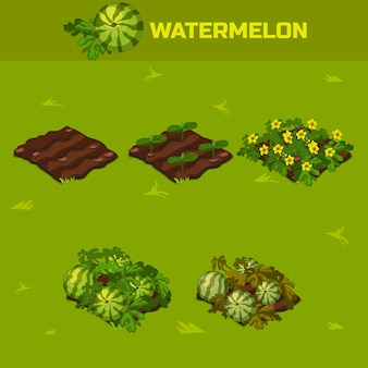 Set 4. isometric stage of growth waterrmelon