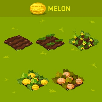 Set 6. isometric stage of growth melon