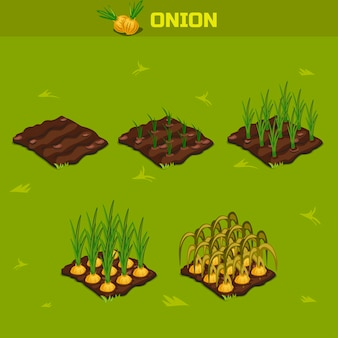 Set 8. isometric stage of growth onion