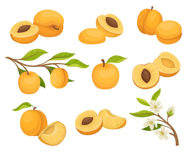 Set of apricot icons. juicy and ripe summer fruit. small branch with flowers. natural and healthy food