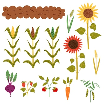 Set autumn harvest from the bed. garden collection: bed, corn, sunflowers, wheat, pea stalks, carrots, tomatoes, strawberries, beets. vector hand draw clipart