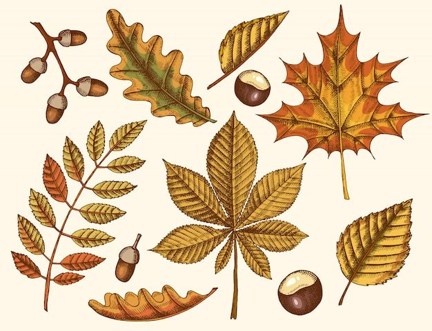 Set of autumn leaves. hand drawn leaves of maple, birch, chestnut, acorn, ash tree, oak. sketch. vintage