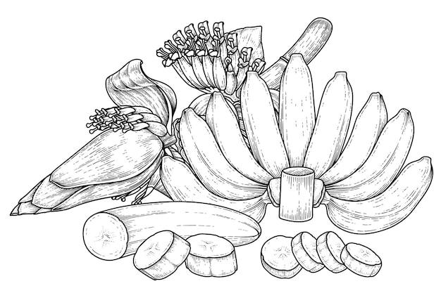 Insieme dello schizzo disegnato a mano della frutta della banana e del fiore della banana