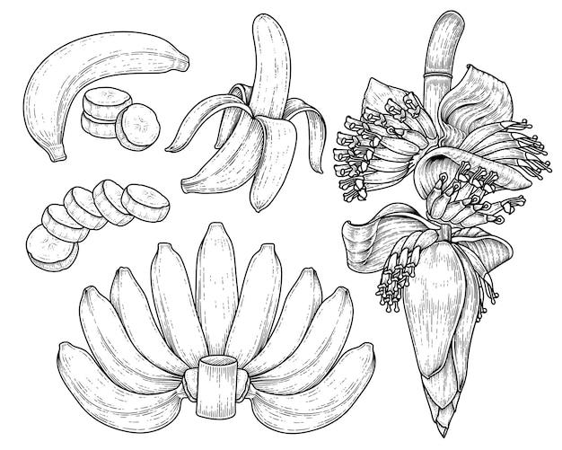Set of banana fruit and banana blossom hand drawn sketch