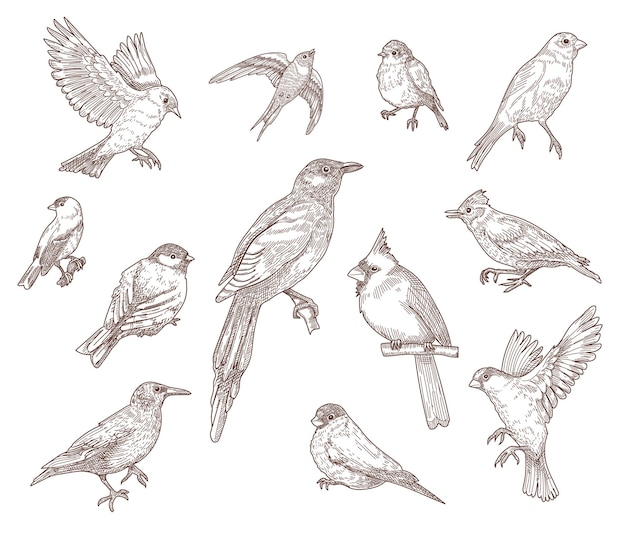 Insieme dell'illustrazione di schizzi incisi di specie di uccelli