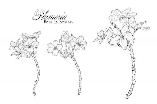 A set of black and white plumeria flowers.