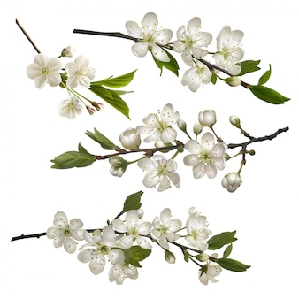 Set of blossoming cherry branches