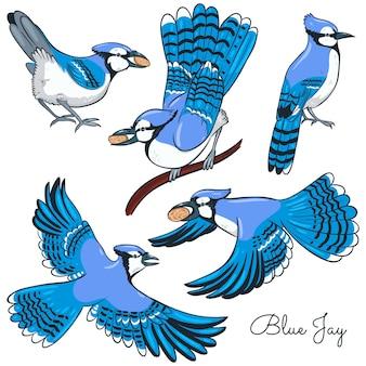 Set of blue jays isolated on a white