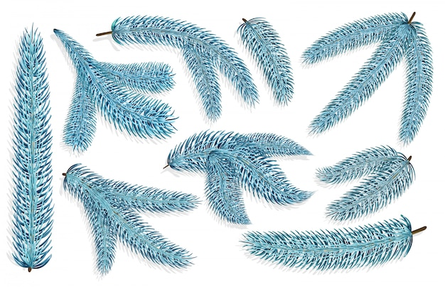 Set of blue spruce christmas branches.