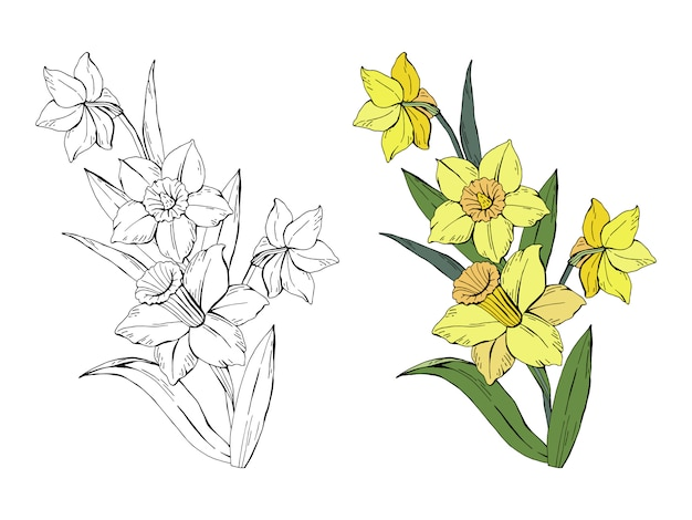 Set of bouquet narcissus colored and monochrome
