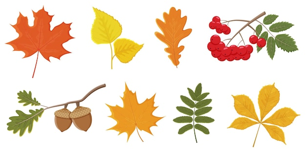 Set of bright autumn leaves and berries on a white background.