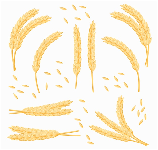 Set of cartoon bunch of wheat, oats or barley isolated. vector set of wheat ears.