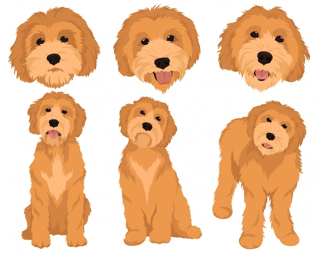 Set of cartoon dog breeds goldendoodle. collection of colorful portraits of goldendoodle dogs.