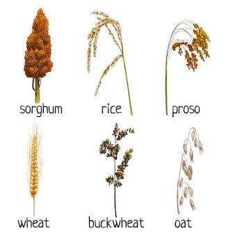 곡물과 잎으로 시리얼 식물 귀를 설정합니다. 메밀, 밀, 귀리, 프로소, 쌀, 수수. 벡터 색상 빈티지 손으로 그린 해칭 그림 흰색 배경에 고립.